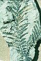 Dicroidium zuberi leaf.jpg