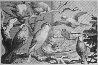 Fedor Flinzer - English canary birds by Fedor Flinzer from Die Gartenlaube