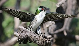 Diederik cuckoo, Chrysococcyx caprius, at Mapungubwe National Park, Limpopo, South Africa - male (29421562844).jpg