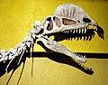 Dilophosaurus skull.jpg