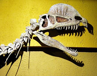 Dilophosaurus - Reconstructed skull and neck, Royal Tyrrell Museum; the crests and the gap in the upper jaw are characteristic features of this dinosaur