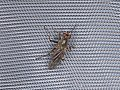 Diptera sp. (42852712721).jpg