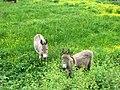 Donkeys in Meadow - geograph.org.uk - 822435.jpg