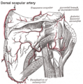 Dorsal scapular artery.png