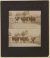 Down east oxen No 13 Photo A (HS85-10-18556) original.tif
