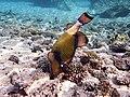 Drückerfisch.Giant Titan Triggerfish.DSCF6711BE.jpg