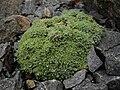 Draba mollissima 1.JPG