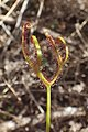 Drosera binata kz2.jpg