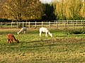 Dry Drayton Alpacas - geograph.org.uk - 1043617.jpg