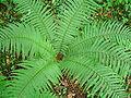 Dryopteris affinis - 'shuttlecock'.JPG
