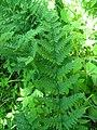 Dryopteris spinulosa 3-jgreenlee (5097448873).jpg