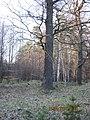 Drzewo melanżowe - panoramio.jpg