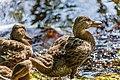 Duck (29264084817).jpg