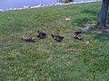 Duck Pond - panoramio.jpg