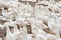 Duck farming at Huwei 20080520 10.jpg