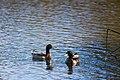 Ducks (22941141574).jpg