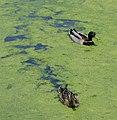 Duckweed heaven^ - geograph.org.uk - 809768.jpg