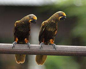 Brown lory - Jurong Bird park