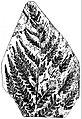 EB1911 Palaeobotany - Cladophlebis denticulata.jpg