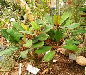 Euphorbia leuconeura wikipedia - Wolfsmilch zimmerpflanze ...