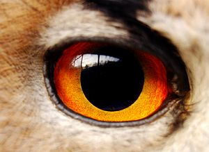 Horned owl - Detail of an eye of an eagle-owl.