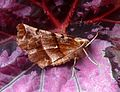 Early Thorn. Selenia dentaria - Flickr - gailhampshire.jpg