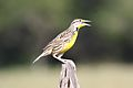 Eastern Meadowlark (3354001152).jpg