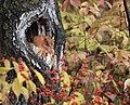 Eastern Screech Owl (31443699245).jpg