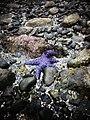 Echinoderm on the beach in Nanaimo. (5549094398).jpg