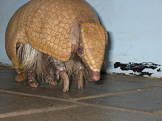 Brazilian three-banded armadillo species of mammal