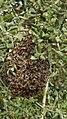 Eixam d'abelles-Fauna en el carril bici Girona a St Feliu de Guíxols - panoramio.jpg