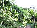 Elaeocarpus hainanensis 05.JPG