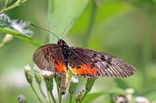 <i>Acraea egina</i> species of insect