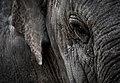 Elephant (43752416).jpeg