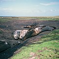 Elephant seals wallowing in the mud (49764185427).jpg