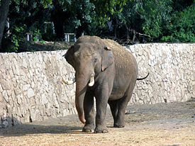 Elephas maximus at Ramat-Gan Safari.jpg