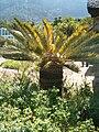 Encephalartos friderici-guilielmi KirstenboshBotGard09292010B.JPG