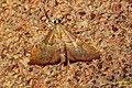 Endotricha flammealis (FG) (37418080152).jpg