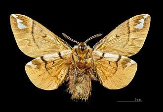 Endromis - Image: Endromis versicolora MHNT.CUT.2011.0.446. Male.Allier (Hautes Pyrénées) ventre