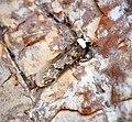 Endrosis sarcitrella (41147932734).jpg
