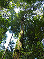 Engkabang (Shorea sp.) (15607560356).jpg