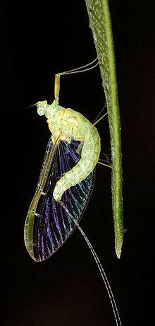 The Weirdness of NATURE 220px-Ephemeroptera01