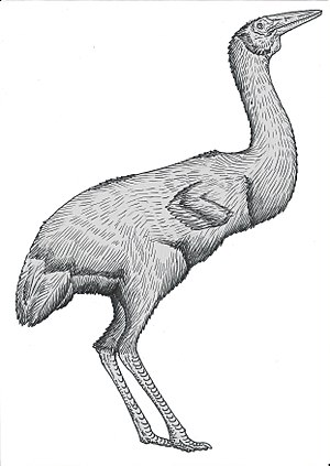 Common ostrich - Although eogruids are more closely related to cranes than to ostriches, both groups converged heavily in being flightless, didactylous birds, and co-existed in Neogene Eurasia.