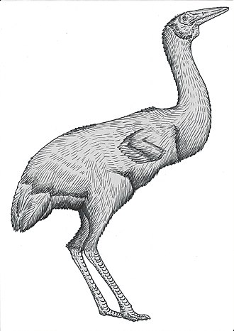 Gruiformes - Ergilornis, a member of the extinct clade Eogruidae.