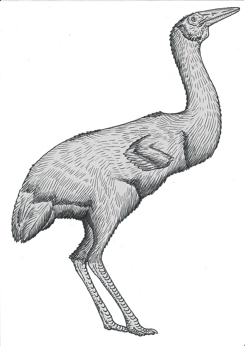 Ergilornis-commission