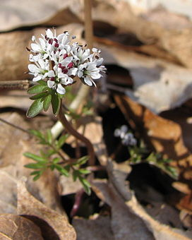 Erigenia bulbosa.jpg