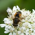Eristalis arbustorum. ( completely yellow dusted face) - Flickr - gailhampshire.jpg