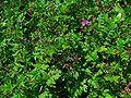 Erodium cicutarium 001.JPG