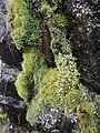 Erythranthe alsinoides at Northern Crags - Flickr - brewbooks (2).jpg