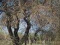 Espinillo (Acacia caven).JPG